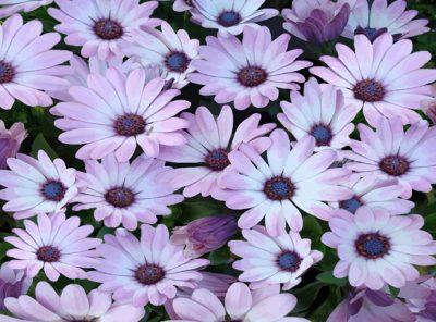 Manto de flores