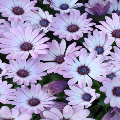 Mantell de flors